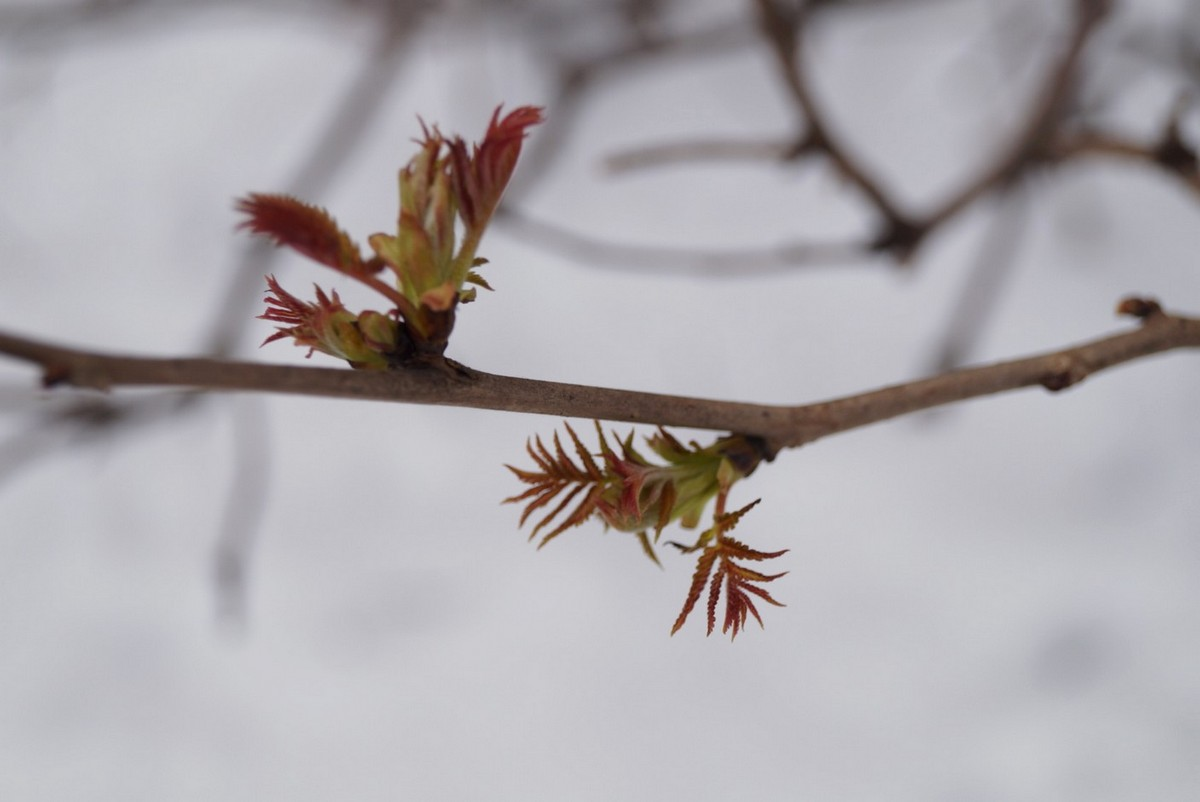 Апрельские первые листья на фоне снега.