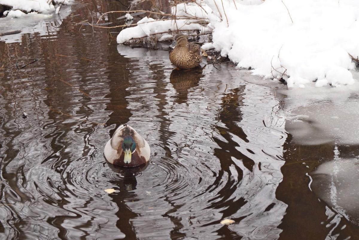 Апрель в Удельном парке. Утки.