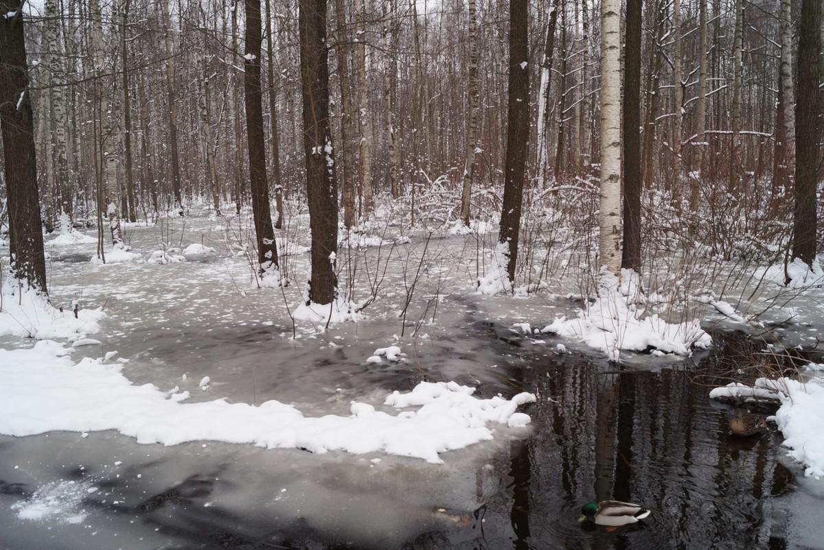 Апрель в Удельном парке. Утки и удивленный от неслыханной наглости зимы лес.