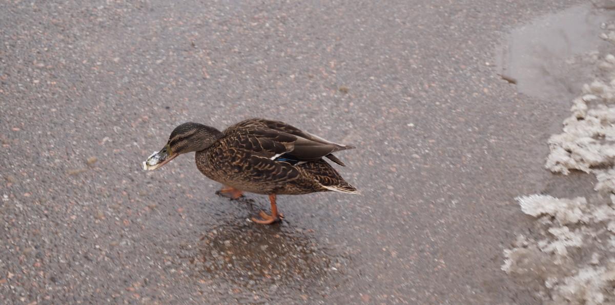 Апрель. У пруда в Удельном парке. Умная утка.