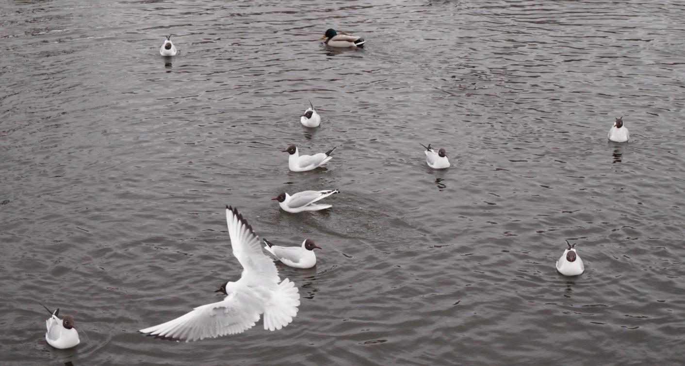 Апрель. Пруд в Удельном парке. Чайки.