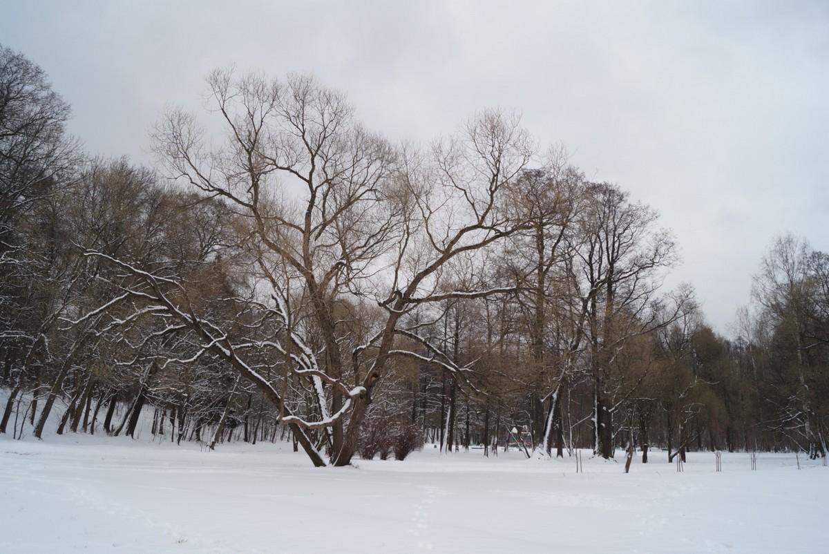 Апрель в Удельном парке. Большое дерево на большой поляне.