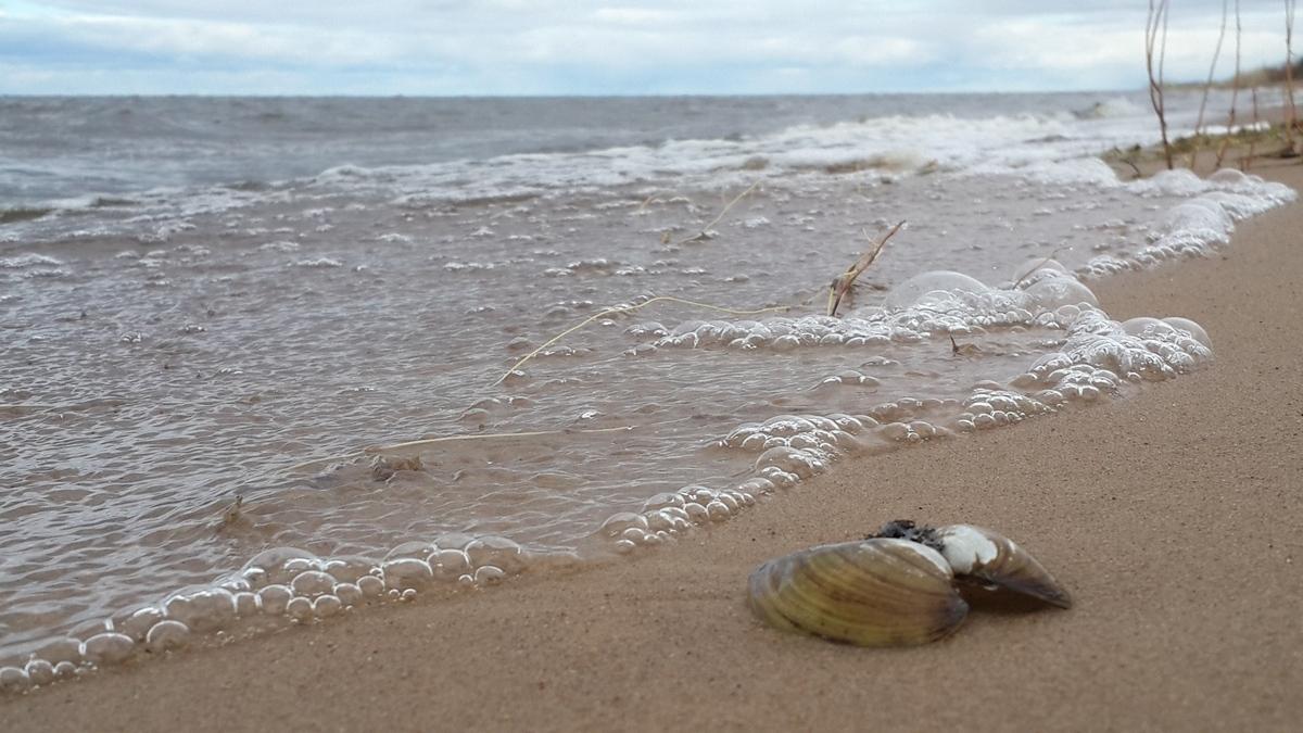 На Чудском озере под Гдовом. Песочный берег и ракушка.