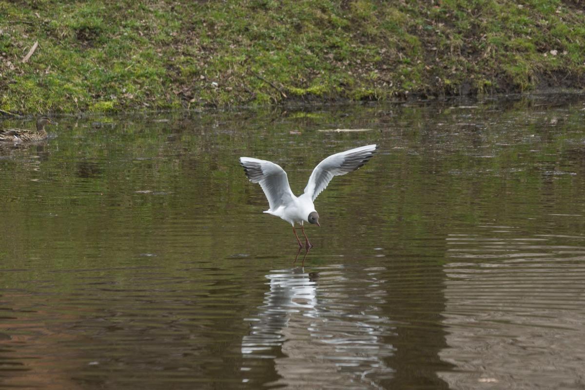 Кингисепп. На пруду у бывшей Ямбургской крепости. Приводнение чайки.