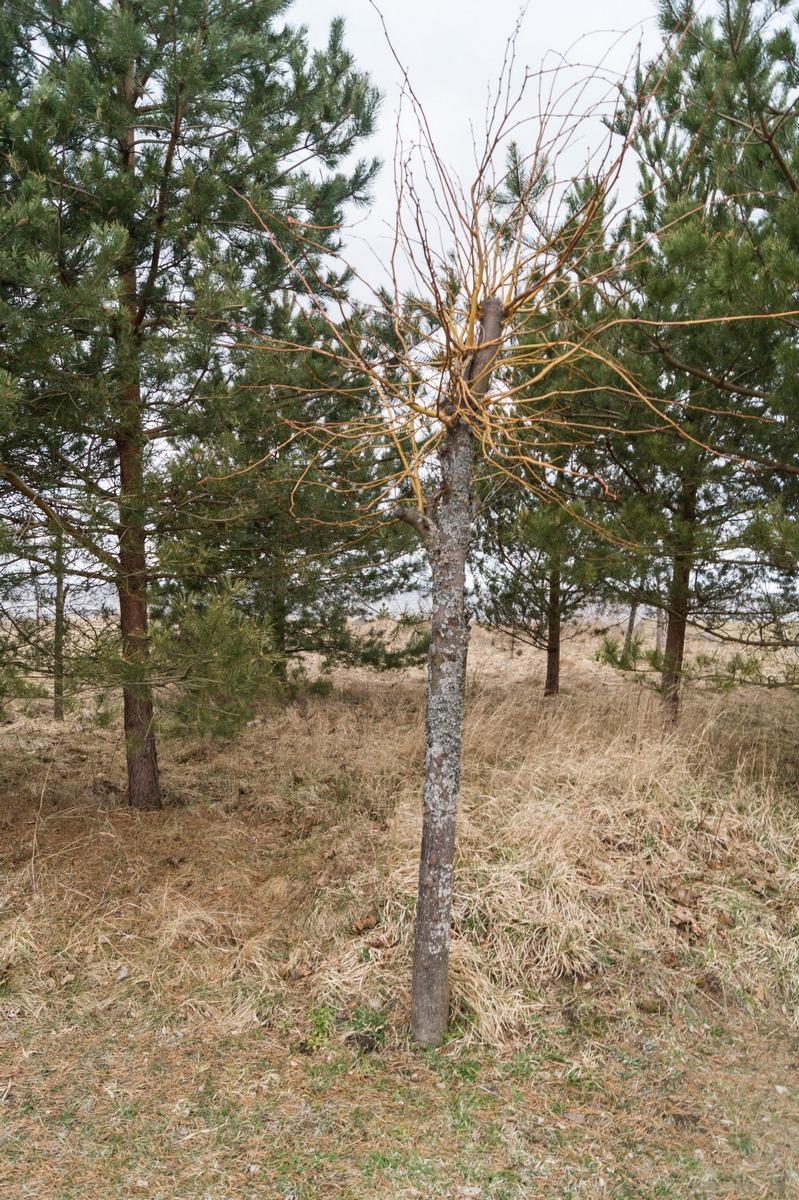 Чудо-дерево в поселке на берегу Чудского озера.