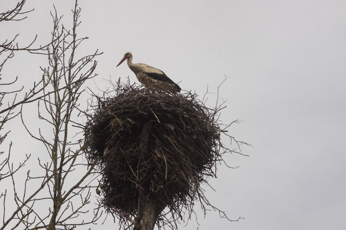Псковская область. Аист и его гнездо.