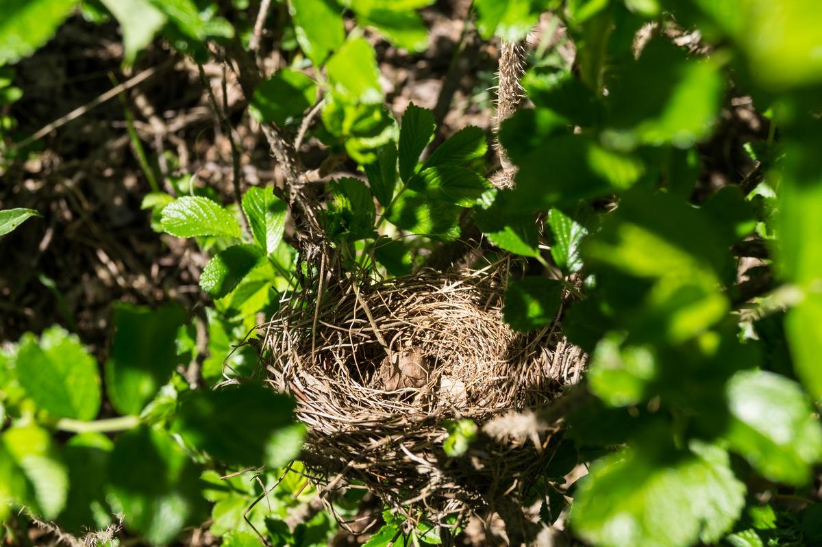 Ольгино. На берегу Залива. Пустое гнездо в кустах шиповника.