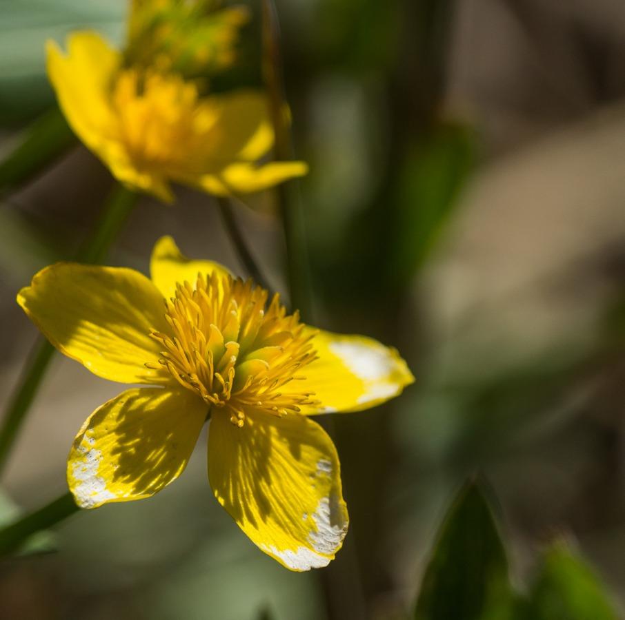 Ольгино. Ветреница желтая.