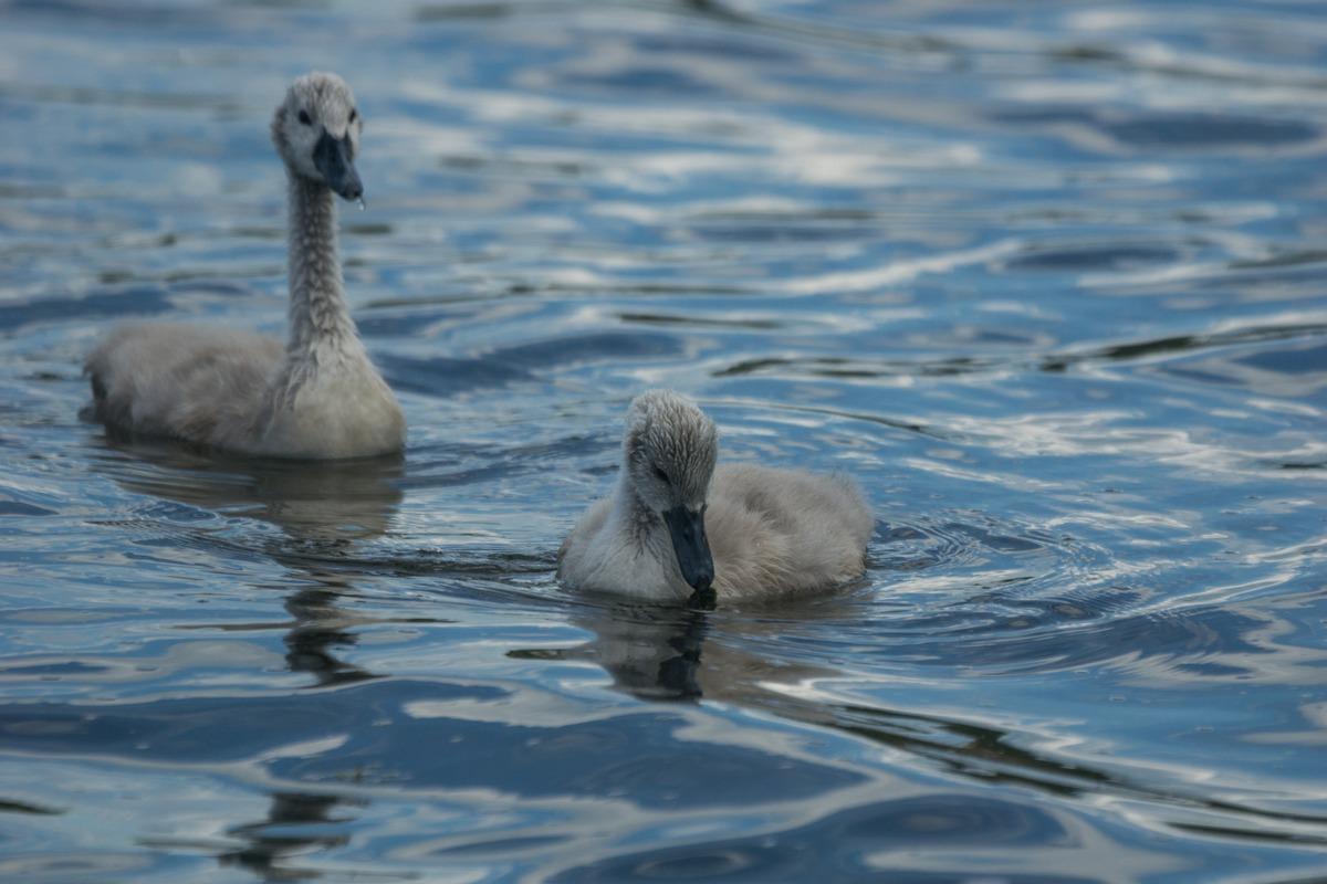 Изборск. Лебеди-малыши на Городищенском озере.