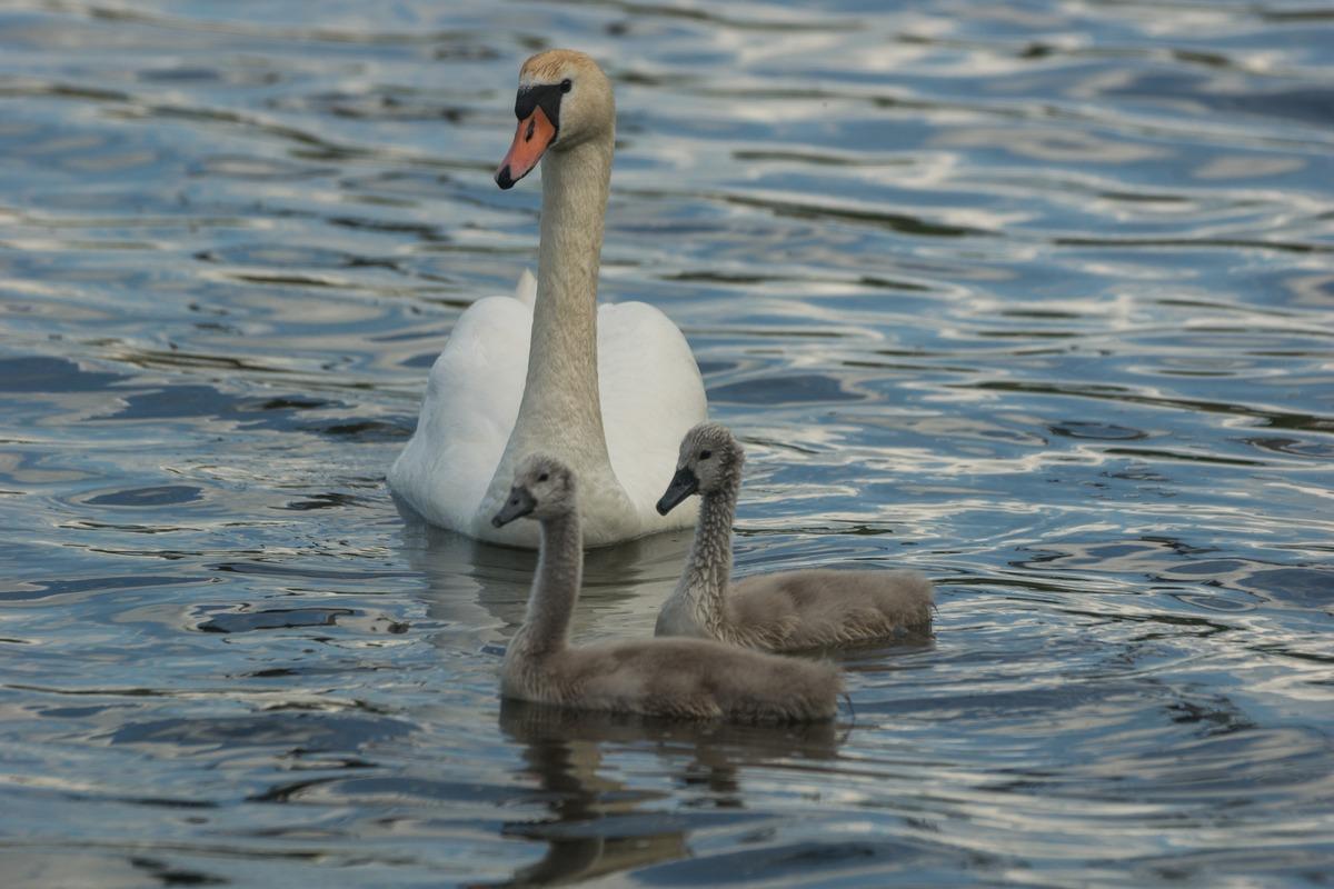 Изборск. Лебедь-шипун с лебедятами на Городищенском озере. Июнь.