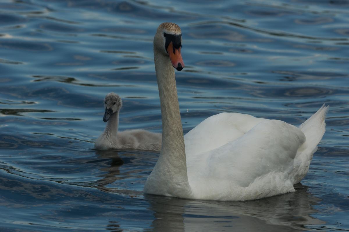 В Изборске. Лебеди на Городищенском озере.