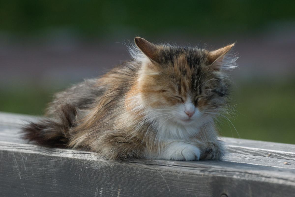 Изборская крепость. Изборский кот у Никольского собора. За секунду до пробуждения.