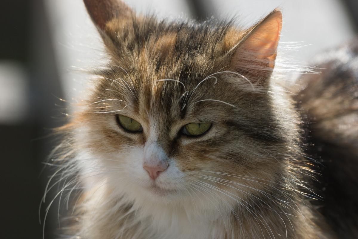 Изборская крепость. Изборский кот у Никольского собора.
