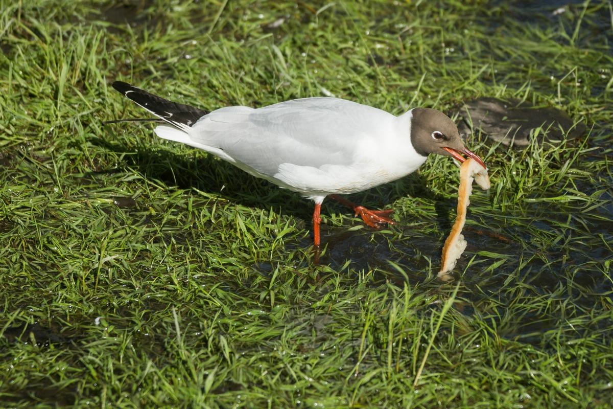 Курорт Старая Русса. У Верхнего озера. Чайка с хлебом.