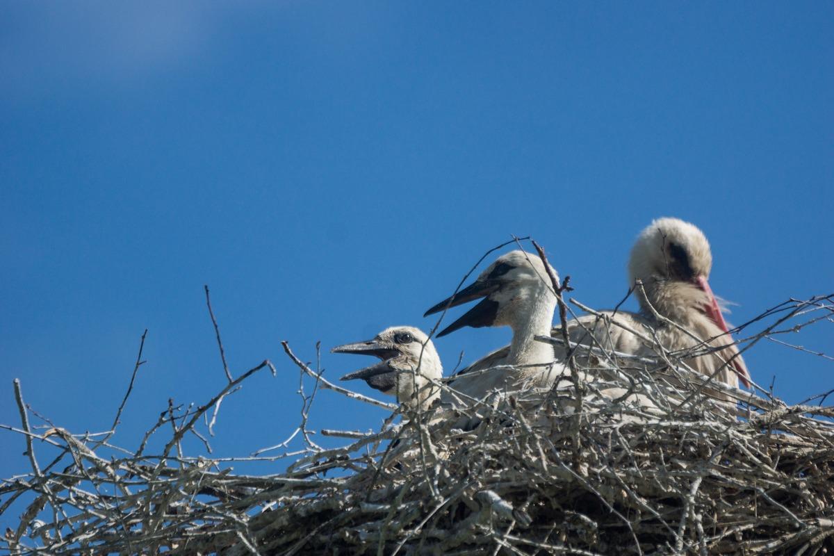 Птенцы белого аиста в гнезде.