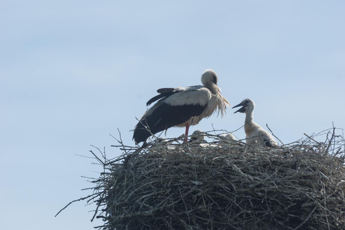 Псковская область. Июнь. Аист с птенцами в своем гнезде.