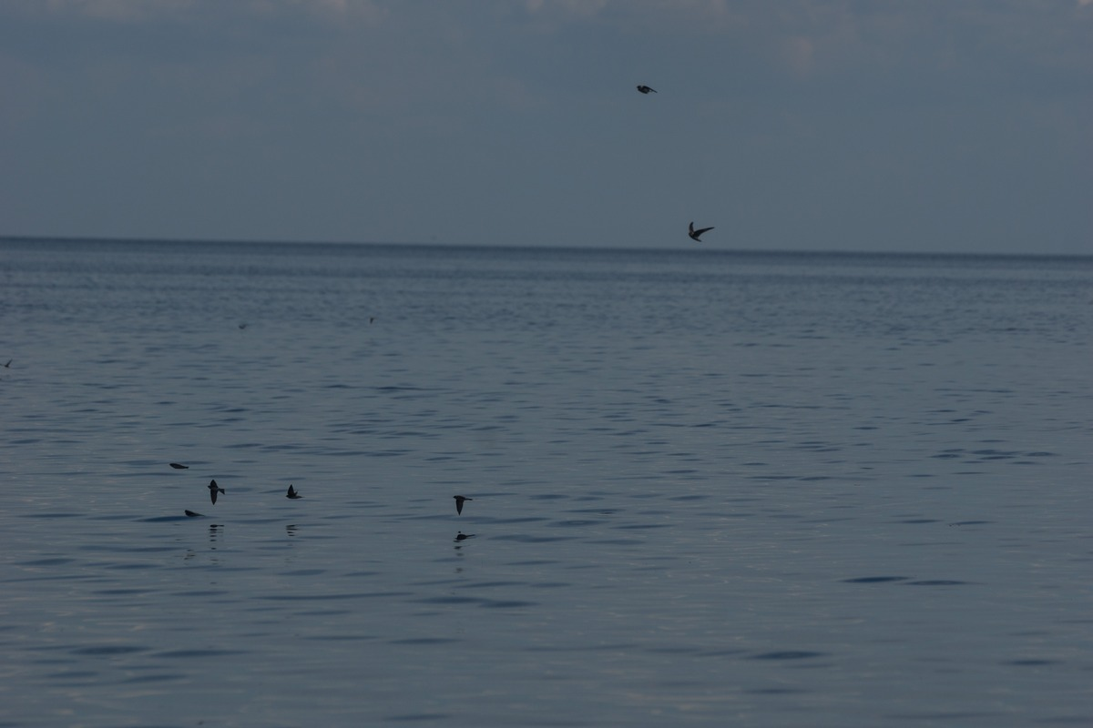 Ильмень. Ласточки-береговушки над водой.