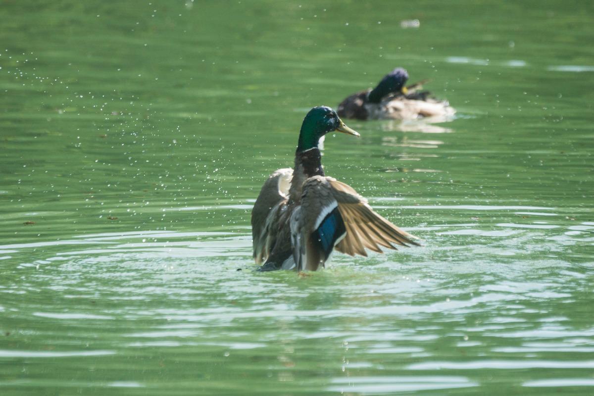 В Старой Руссе. Курортный парк. Селезень купается и фигуры разнообразные выделывает.