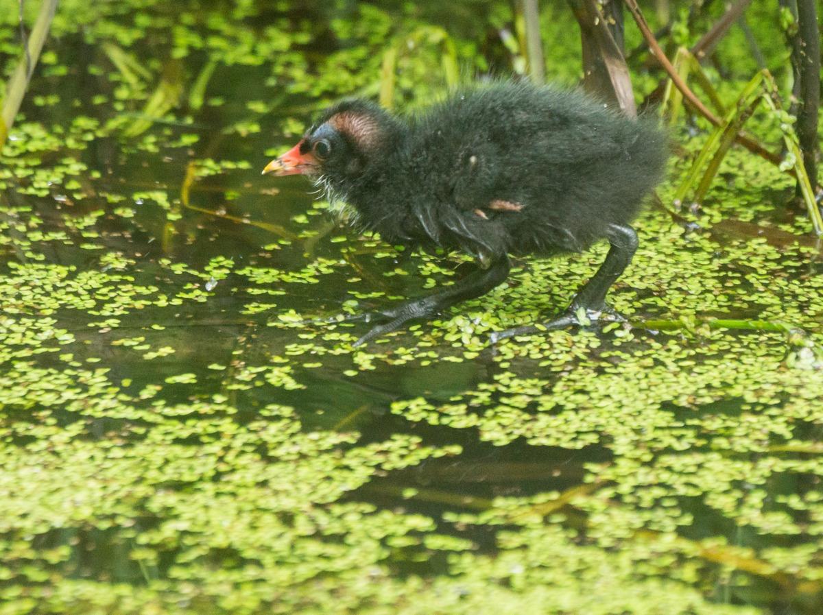 Удельный парк. Птенец камышницы или болотной курочки.