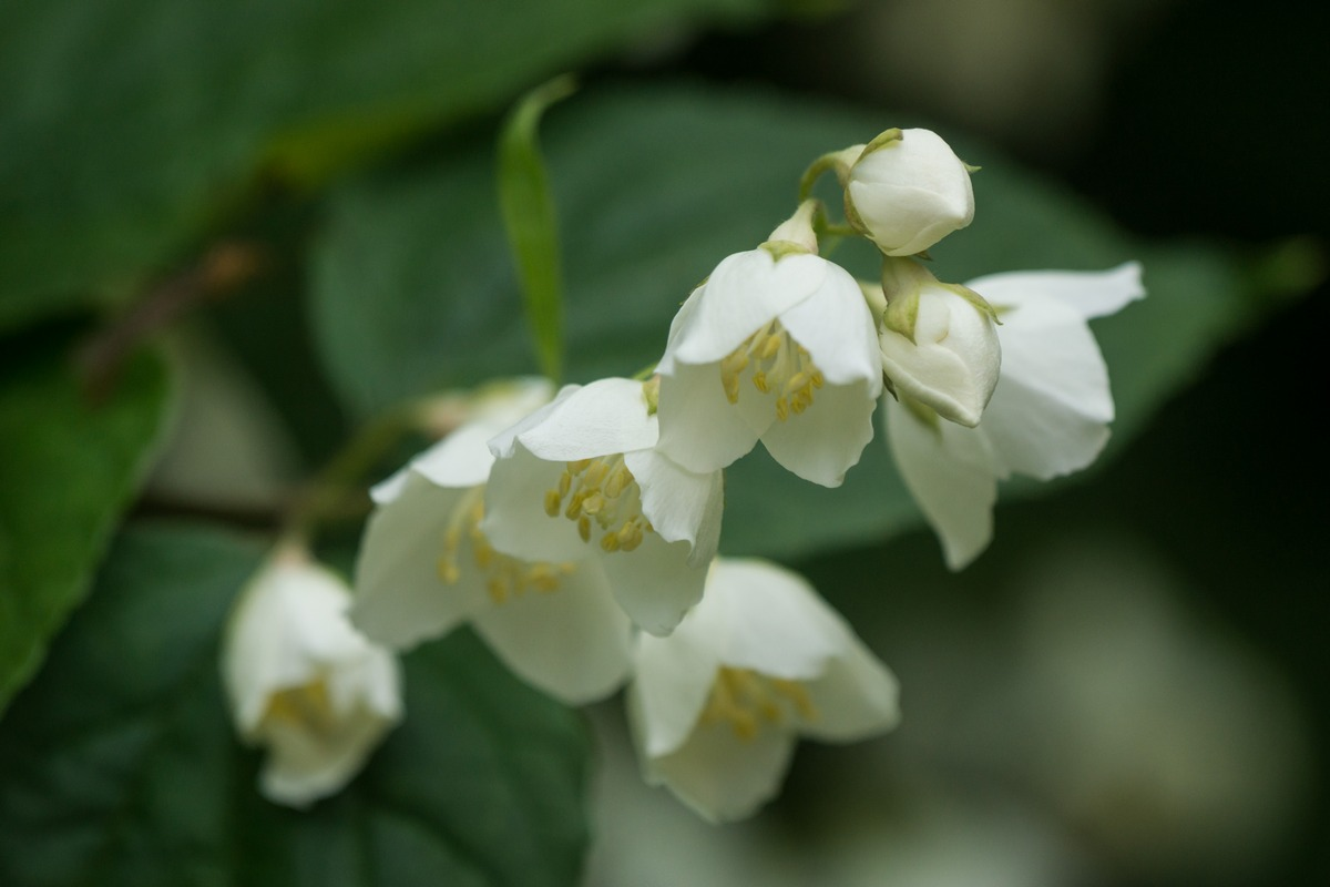 Удельный парк. Жасмин цветет.