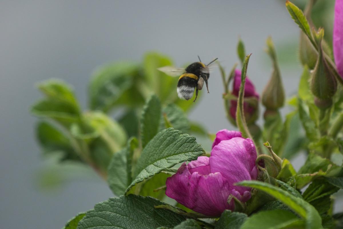Удельный парк. Полет шмеля над цветком шиповника.