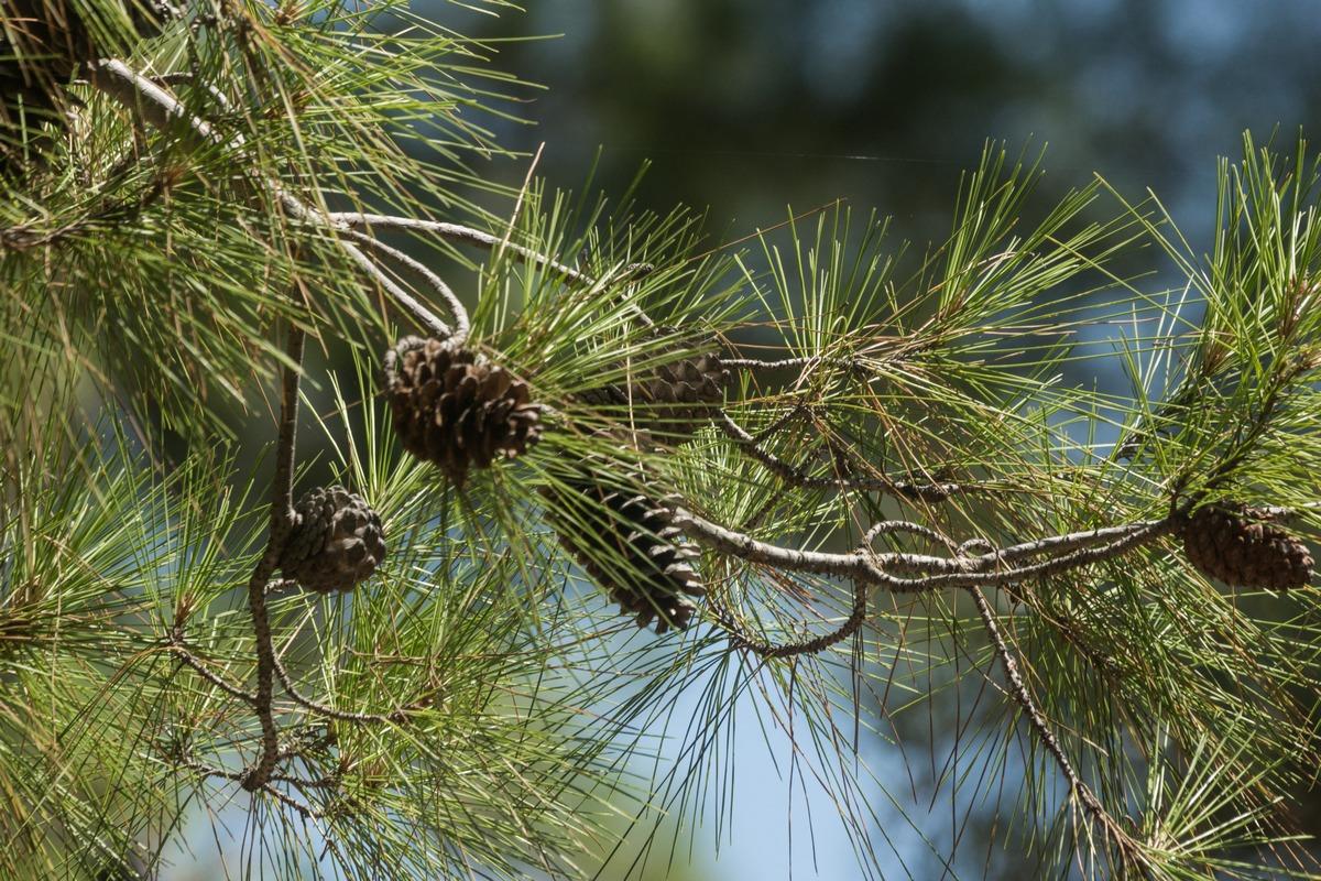 По дороге к Фазелису. Среди сосен и кедров природного заповедника.