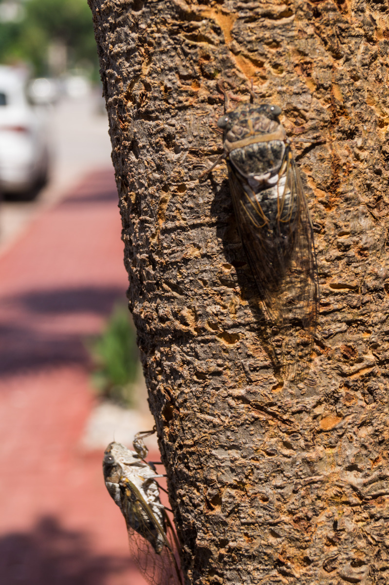 Кемер. Цикады на стволе дерева.