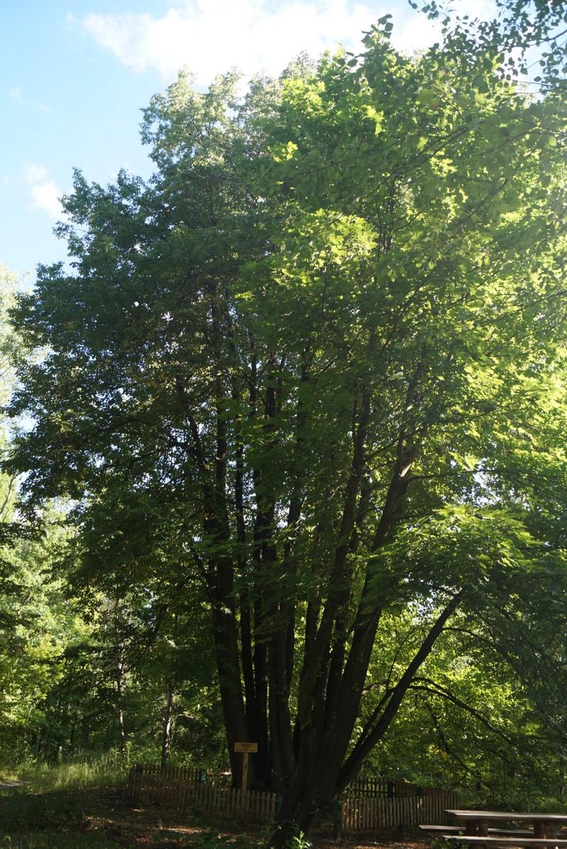 Старый Оскол. Урочище Ублинские Горы. Чудо-дерево.