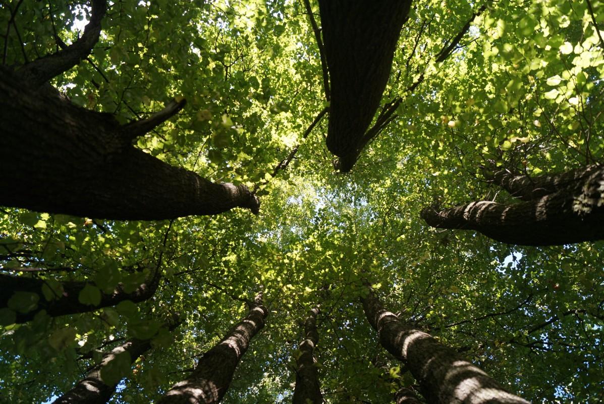 Старый Оскол. Урочище Ублинские Горы. Семейное дерево - стволы рвутся в небо.