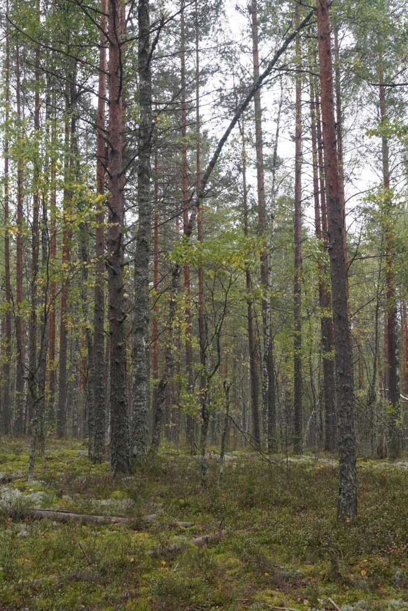 В Кирилловском. Я в осеннем лесу...