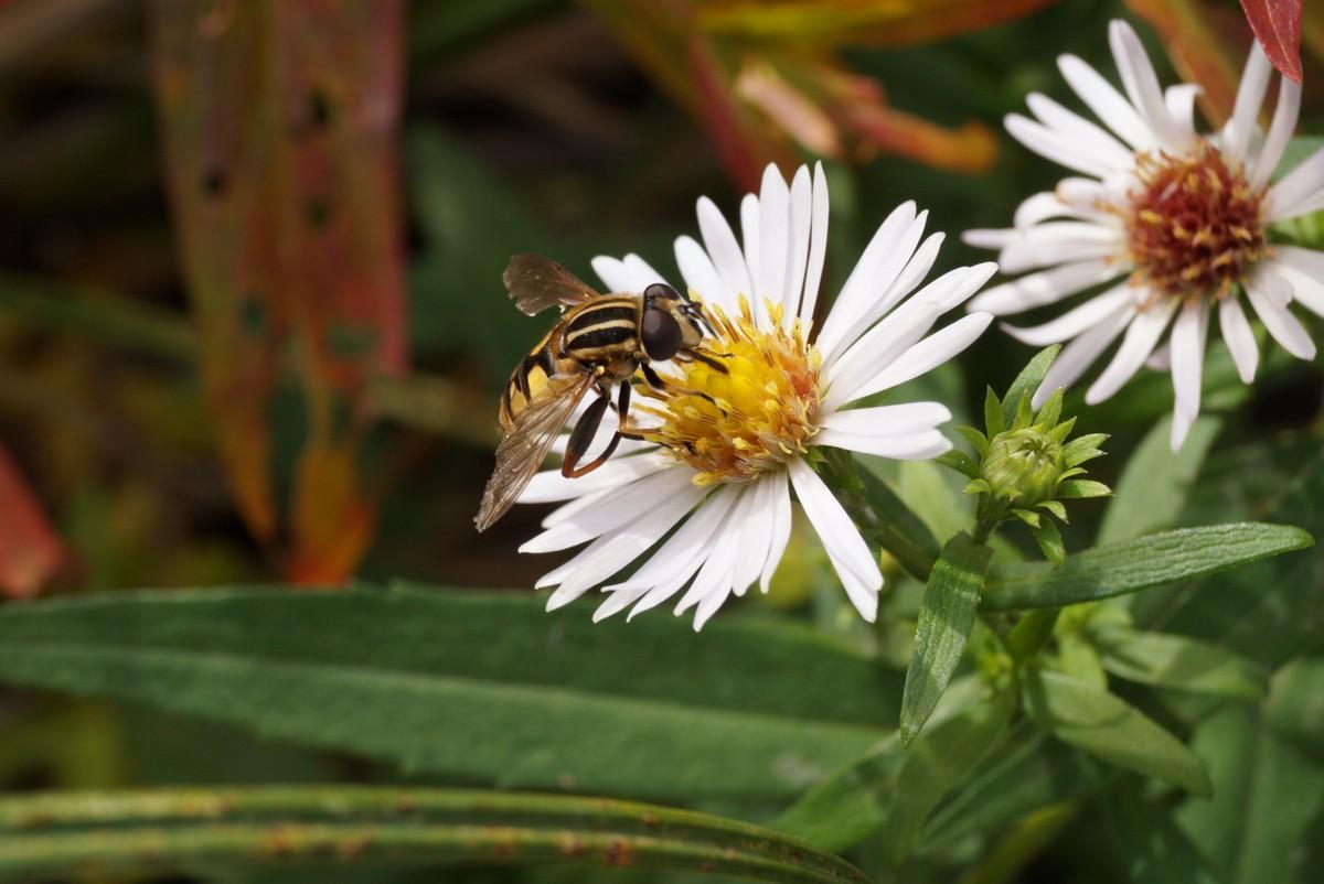 Конец сентября в Ольгино. Есть еще нектар в цветочках!