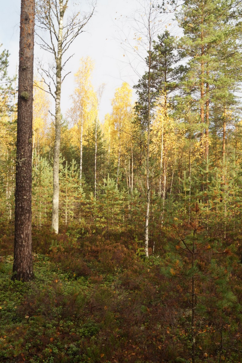 Лес в Кирилловском. И золотистые березы.