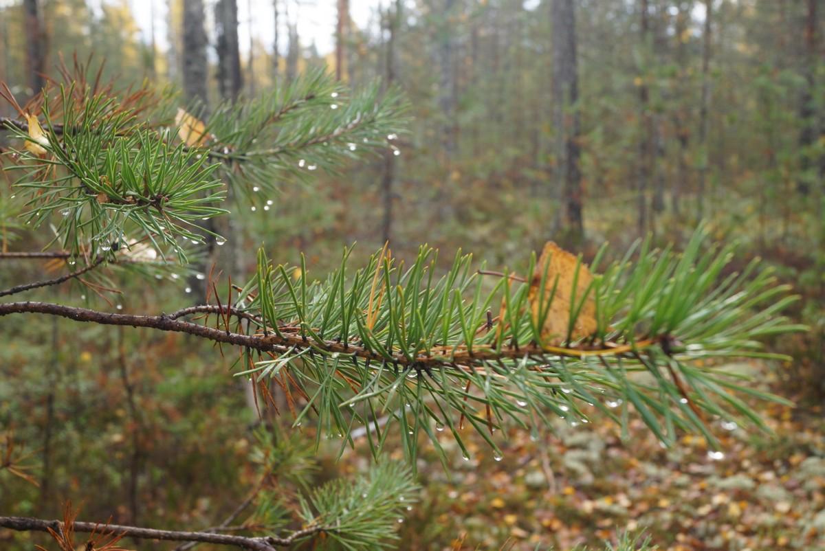 Кирилловское. Бусинки дождя в лесу.