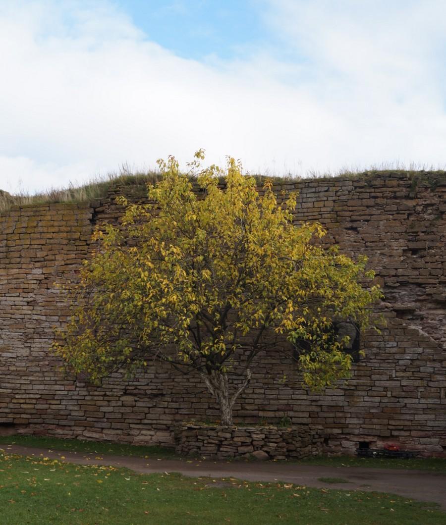 Крепость Орешек. Во дворе цитадели. У стены. Яблоня Фроленко на месте казни Александра Ульянова.
