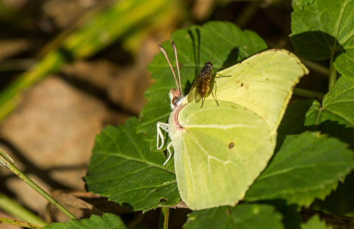 Муха приземлилась на бабочке.