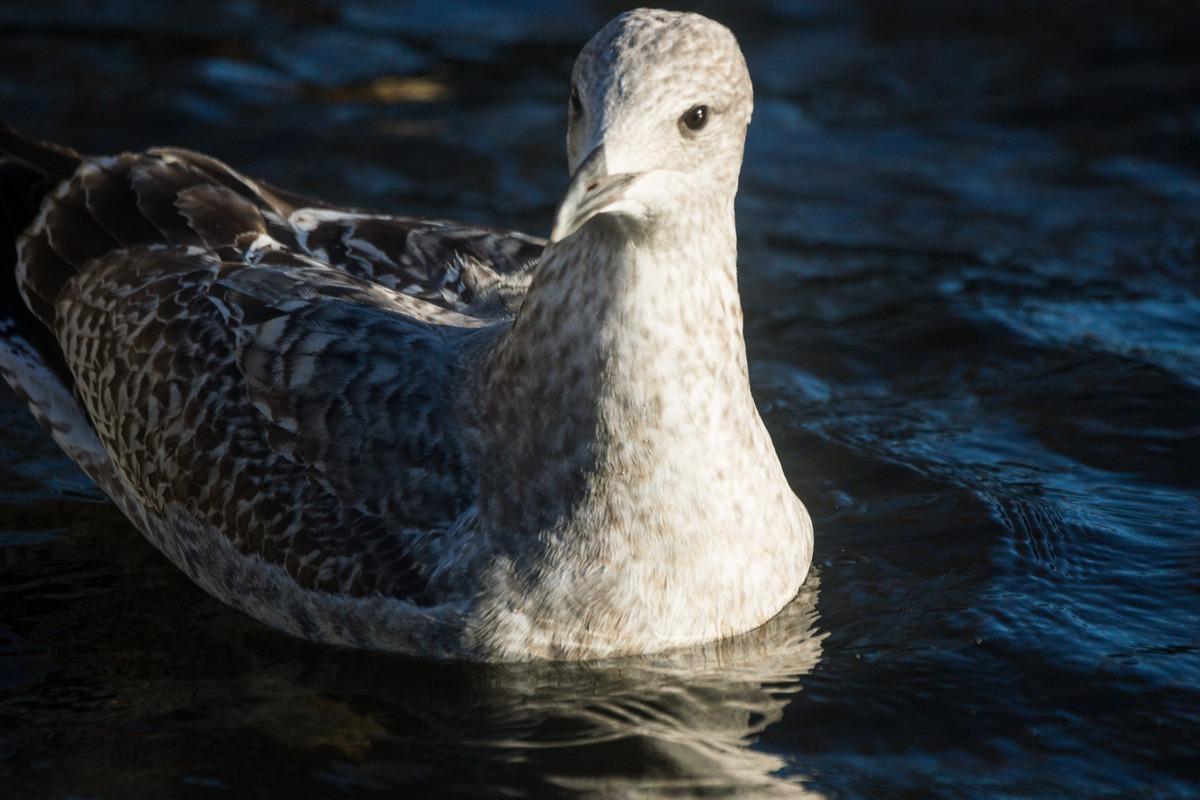 Таллин. В парке Шнелли. Чайка на пруду.