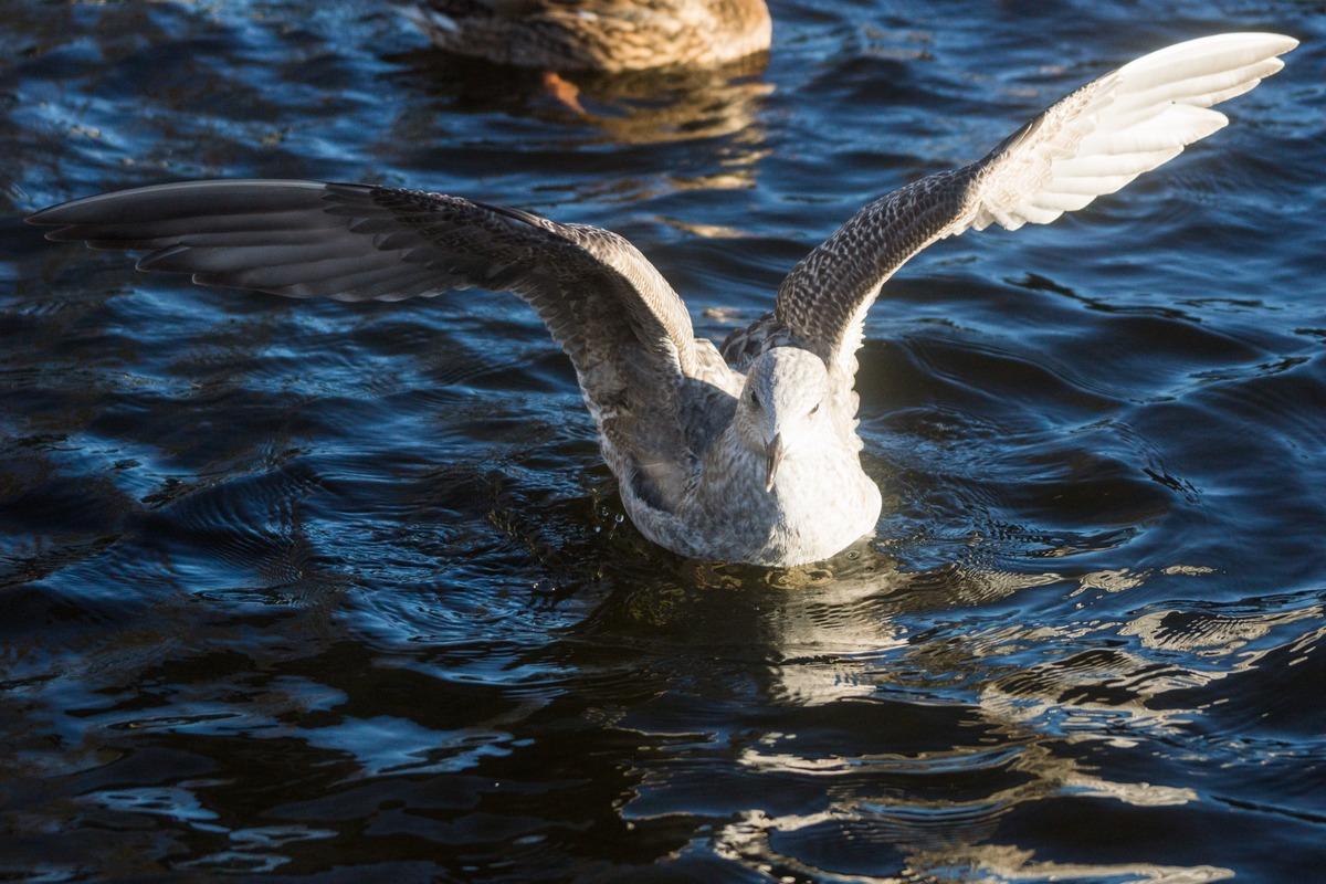 Таллин. В парке Шнелли. Чайка на пруду. За добычей.