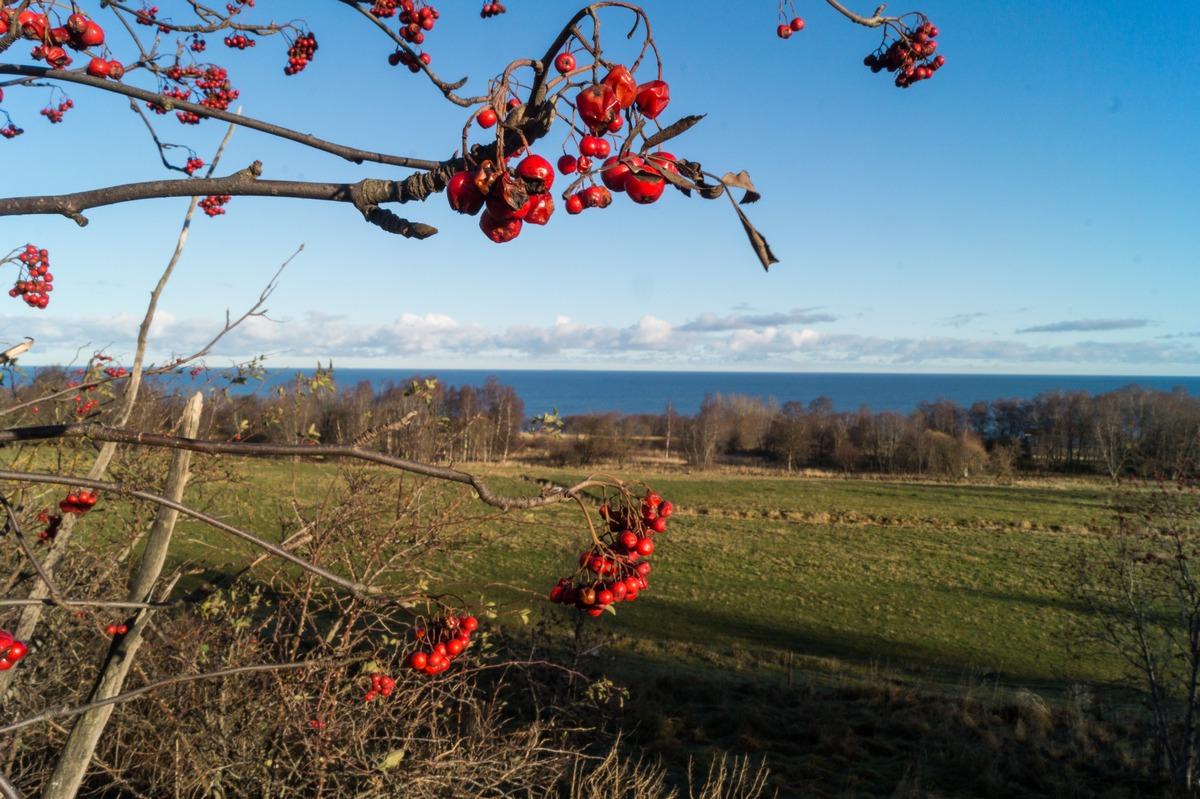 Эстония. Вид на Финский залив. Ноябрьская рябина в солнечный день.