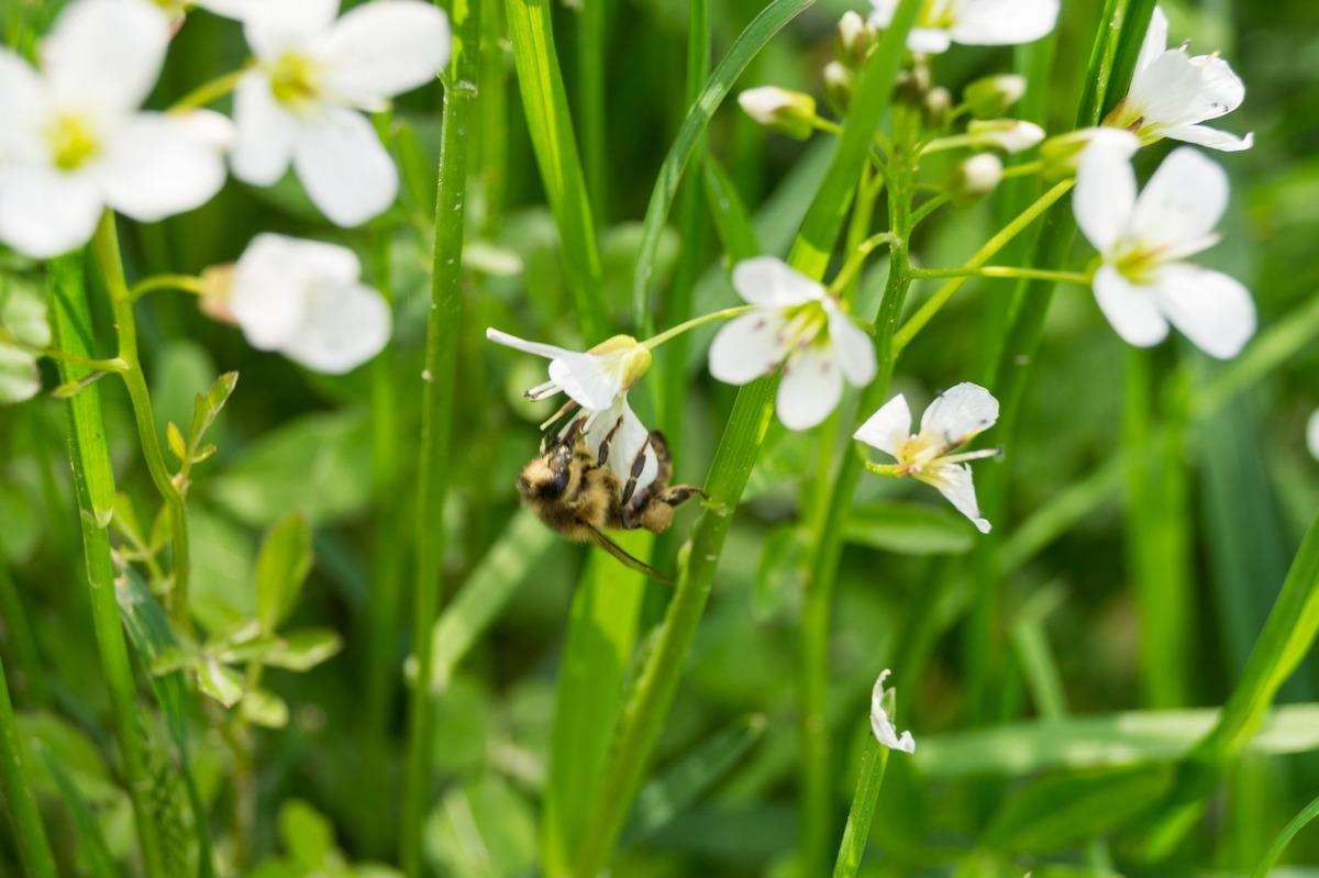 Первые опылители в июне изыскивают нектар.