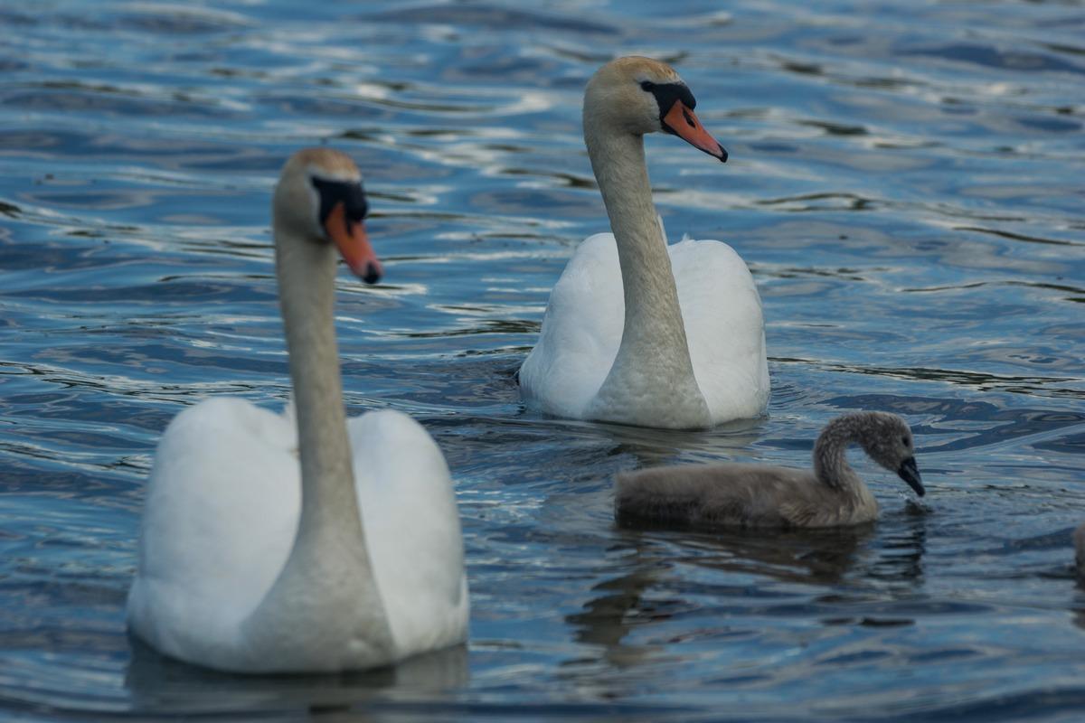 Лебеди на Городищенском озере у Изборска.