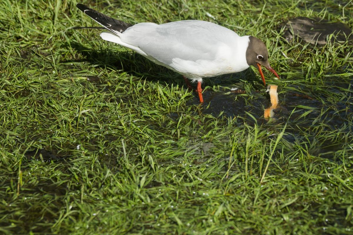 Чайка в Старой Руссе в Курортном парке.