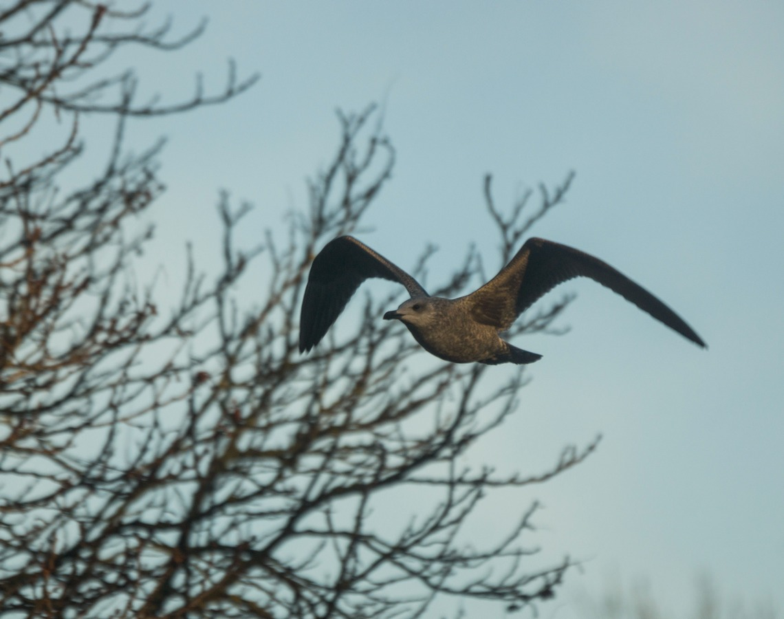 Таллин. Летящая чайка.