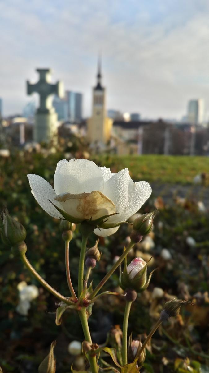 Таллин. Роза у площади Свободы.