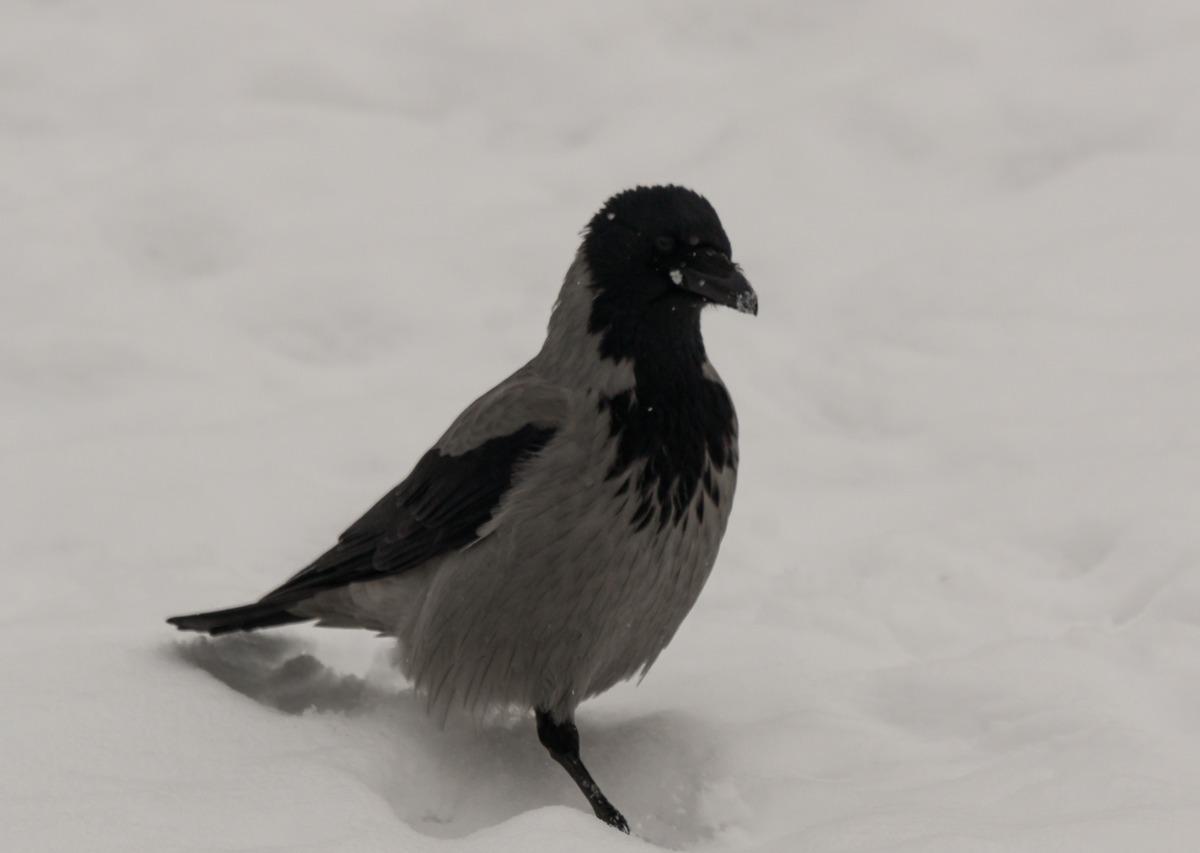 Ворона в Удельном парке.