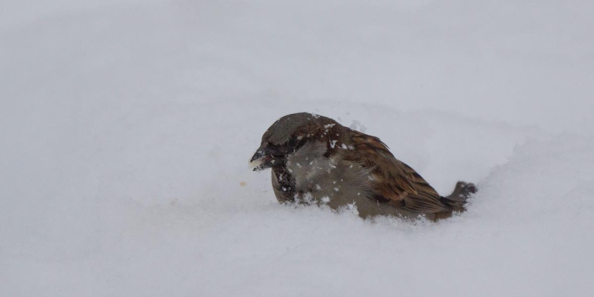 Воробей в Удельном парке. Купание в снегу.
