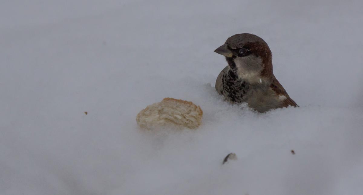 Воробей в Удельном парке. Купание в снегу. И кусочек хлеба.