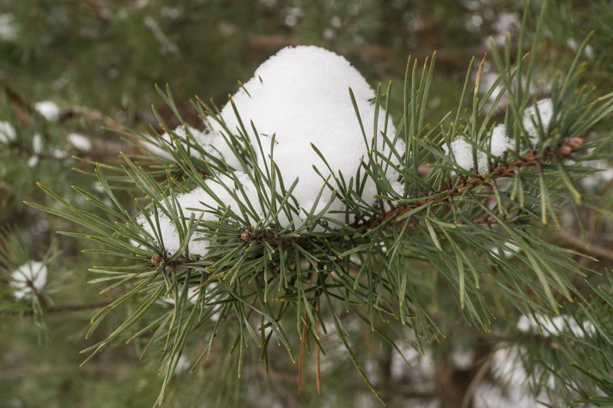 Ольгино. На берегу Финского залива. Снежная лапа. Или лапа со снегом.
