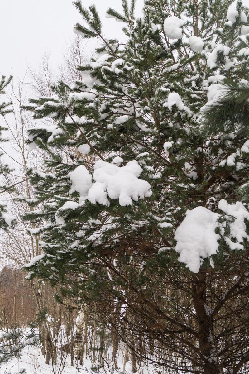 Ольгино. На берегу Финского залива.  Еще сосновые лапы со снегом.