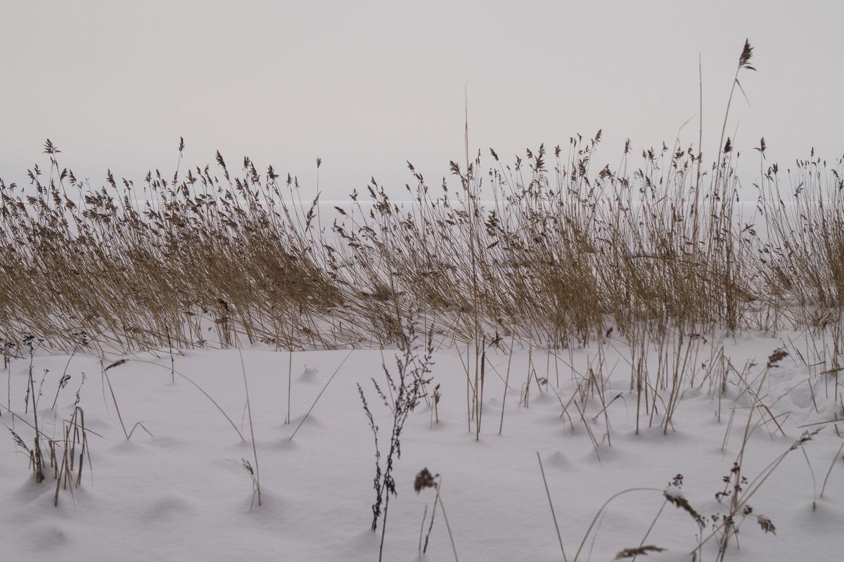 Ольгино. На берегу Финского залива.  И камыши в зимнем безмолвии.
