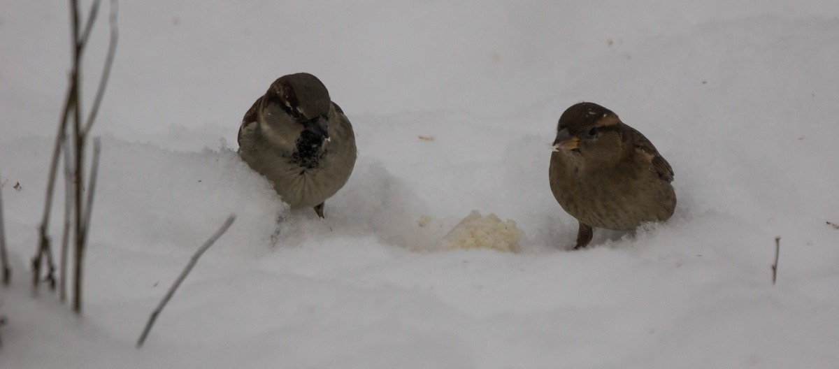 Воробьи в Удельном парке. И кусочек хлеба в снегу.